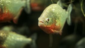 Eine Menge von Piranhas im Aquarium stock video footage