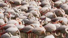 Eine Menge von rosa Flamingos auf dem See stockfotos