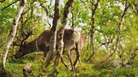 Eine Menge von Rotwild geht durch den Wald stock footage