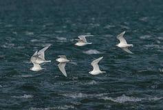 Eine Menge von Schwarzkopfmöwen im Flug gegen einen bewegten See Lizenzfreies Stockbild