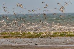 Eine Menge von watenden Vögeln des Knotens auf der Norfolk-Küste, England, Großbritannien Stockfoto
