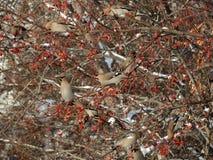 Eine Menge von Waxwings auf den schneebedeckten Niederlassungen Lizenzfreies Stockbild