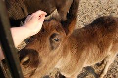 Eine menschliche Hand und ein Fohlen Lizenzfreie Stockfotos