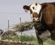 Eine Milchkuh isst und wirft Heu in ländlichem Amerika Stockfotos