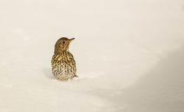 Lied-Drossel fest im Schnee Stockfotografie