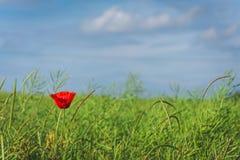 Eine Mohnblume lizenzfreie stockfotos