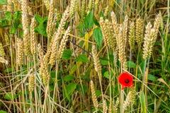 Eine Mohnblume auf dem Gebiet des Weizens Stockbilder