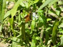 Eine Motte auf der Blume Lizenzfreies Stockfoto