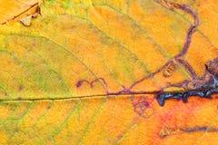 Eine Nahaufnahme der Adern auf einem Herbstblatt Stockfotos
