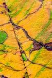 Eine Nahaufnahme der Adern auf einem Herbstblatt Lizenzfreie Stockbilder