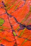 Eine Nahaufnahme der Adern auf einem Herbstblatt Stockfotografie