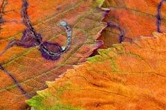 Eine Nahaufnahme der Adern auf Herbstlaub Lizenzfreies Stockbild