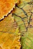 Eine Nahaufnahme der Adern auf Herbstlaub Stockfoto