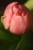 Eine Blumeknospe einer Tulpe Lizenzfreies Stockbild