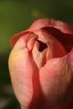 Eine Blumeknospe einer Tulpe Stockfotografie