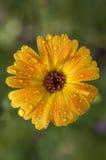 Eine Nahaufnahme der Calendulablume bedeckt mit Regentröpfchen Lizenzfreie Stockfotografie