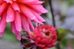 Eine Nahaufnahme der Dahlienblume gleich nach dem Regen lizenzfreie stockfotografie