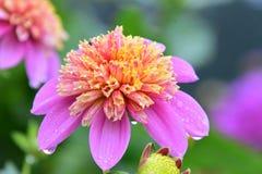 Eine Nahaufnahme der Dahlienblume gleich nach dem Regen stockfotografie
