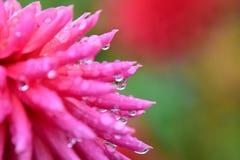 Eine Nahaufnahme der Dahlienblume gleich nach dem Regen lizenzfreie stockbilder
