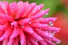 Eine Nahaufnahme der Dahlienblume gleich nach dem Regen stockbilder