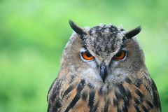 Eine Nahaufnahme der europäischen Adler-Eule Lizenzfreie Stockfotos