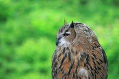 Eine Nahaufnahme der europäischen Adler-Eule Lizenzfreie Stockbilder
