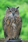 Eine Nahaufnahme der europäischen Adler-Eule Stockfoto