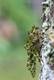 Eine Nahaufnahme der grünen Heuschrecke Stockfoto