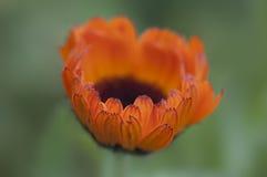 Eine Nahaufnahme der schönen Calendulablume Lizenzfreies Stockfoto