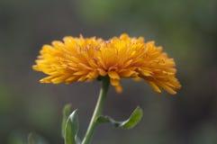 Eine Nahaufnahme der schönen Calendulablume von der Seitenansicht Stockfoto