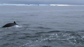Eine Nahaufnahme der Walendstücke im Ozean stock video footage