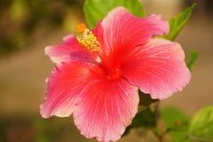Eine Nahaufnahme des chinesischen Hibiscus stockbilder