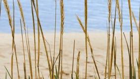Eine Nahaufnahme des Gewürzs des trockenen Grases, das in den Wind mit einem schönen Pastellsonnenuntergang in Meer im Hintergrun stock footage