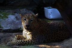 Eine Nahaufnahme des Setzens des indischen Leoparden lizenzfreie stockfotografie