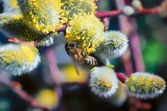 Eine Nahaufnahme einer Biene sammelt Nektar auf einem Weidenkätzchen einer Weide Stockfotos