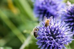 Eine Nahaufnahme einer Biene sammelt Nektar auf einer Wiesenkornblumeblume Lizenzfreies Stockfoto