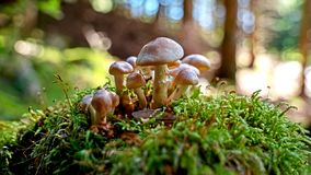 Eine Nahaufnahme einer Gruppe grauer brauner Pilze wächst auf der Seite eines Verrottungsbaumstammes auf einem üppigen grünen Wal Stockfoto