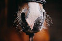 Eine Nahaufnahme einer Kastanienpferd-` s Nase Stockbilder