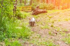 Eine Nahaufnahme eines erwachsenen grauen Kaninchens, das entlang das grüne gra läuft stockbilder