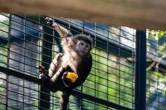 Eine Nahaufnahme eines kleinen braunen Affen Stockfotos