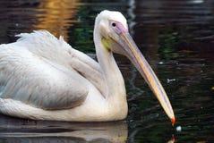 Eine Nahaufnahme eines weißen Pelikans stockbilder