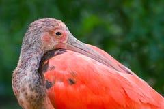 Eine Nahaufnahme von einem roten IBIS Stockfotografie