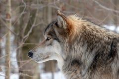 Eine Nahaufnahmeprofilansicht eines Timberwolfs stockbild