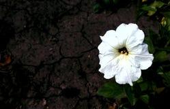 Eine natürliche weiße Blume auf dem Hintergrund Stockbild
