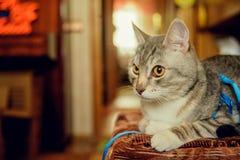 Eine nette graue Katze mit schönem Pelz und gelben Augen liegt auf einem Stuhl und blickt in Richtung der Kamera Verärgerter Blic Stockbild