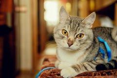 Eine nette graue Katze mit schönem Pelz und gelben Augen liegt auf einem Stuhl und blickt in Richtung der Kamera Verärgerter Blic Lizenzfreie Stockbilder