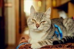 Eine nette graue Katze mit schönem Pelz und gelben Augen liegt auf einem Stuhl und blickt in Richtung der Kamera Verärgerter Blic Stockbilder