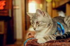 Eine nette graue Katze mit schönem Pelz und gelben Augen liegt auf einem Stuhl und blickt in Richtung der Kamera Verärgerter Blic Lizenzfreie Stockfotografie