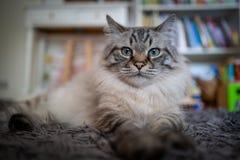 Eine nette heilige Birman-Katze stockbilder