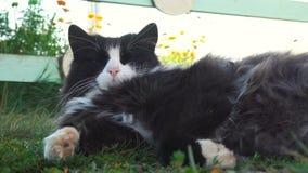 Eine nette Katze, Smokingsmuster-Schwarzweiss-zweifarbiges, Katze liegend auf seiner Rückseite in einer Wiese und neugierig schau stock video footage